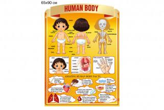 Части тела человека на английском языке стенд